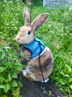 Rabbit Rabbits for sale in Battle Ground, WA, USA. price: NA