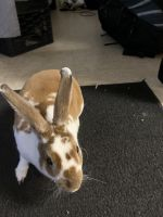 Rabbit Rabbits for sale in Baltimore, MD, USA. price: NA