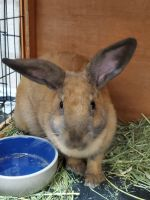 Rabbit Rabbits for sale in Westminster, CO, USA. price: NA