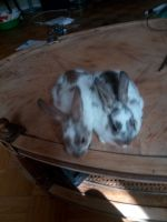 Rabbit Rabbits for sale in Lucerne Valley, CA 92356, USA. price: NA