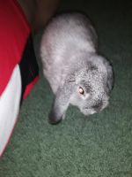 Rabbit Rabbits for sale in Fort Worth, TX, USA. price: NA
