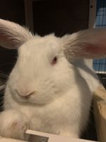 Rabbit Rabbits for sale in Fayetteville, NC, USA. price: NA