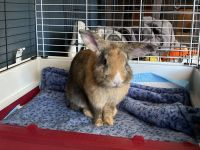 Rabbit Rabbits for sale in Rancho Cucamonga, CA, USA. price: NA