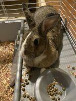Rabbit Rabbits for sale in Atlanta, GA, USA. price: NA