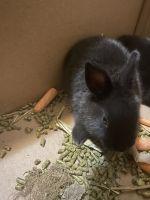 Rabbit Rabbits for sale in Lynwood, CA, USA. price: NA