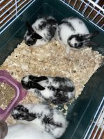 Rabbit Rabbits for sale in Milwaukee, WI, USA. price: NA