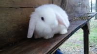 Holland Lop Rabbits for sale in Lancaster, PA, USA. price: NA