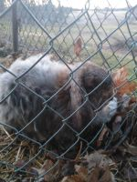 French Lop Rabbits for sale in Buffalo, NY, USA. price: NA