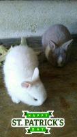 Domestic rabbit Rabbits for sale in Los Angeles, CA, USA. price: NA