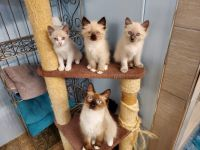 Ragdoll Cats for sale in 197 County Rd 4803, Dayton, TX 77535, USA. price: NA