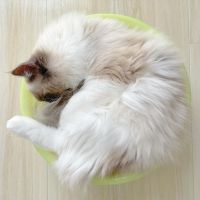 Ragdoll Cats for sale in New York, NY, USA. price: NA