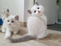 Ragdoll Cats for sale in Rochester, NY, USA. price: NA
