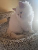 Ragdoll Cats for sale in West Bend, WI, USA. price: NA