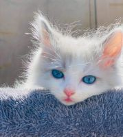 Ragdoll Cats for sale in Los Angeles, CA, USA. price: NA