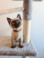Ragdoll Cats for sale in Pensacola Beach, FL, USA. price: NA
