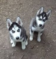Rampur Greyhound Puppies Photos