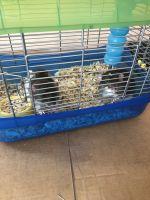 Rat Rodents Photos
