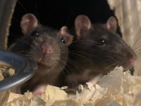 Rat Rodents for sale in 1803 Lyndover Rd, Richmond, VA 23222, USA. price: NA