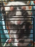 Rat Rodents for sale in Ozark, MO, USA. price: NA