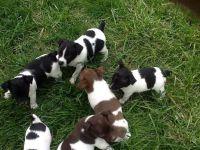 Rat Terrier Puppies Photos