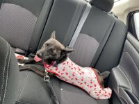 Rat Terrier Puppies for sale in Mt Pleasant, MI 48858, USA. price: NA