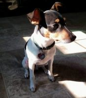 Rat Terrier Puppies for sale in Fayetteville, NC 28314, USA. price: NA