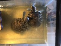 Red-eared slider turtle Reptiles for sale in Aurora, CO, USA. price: NA