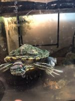 Red-eared slider turtle Reptiles for sale in Oxnard, CA, USA. price: NA