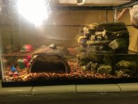 Red-eared slider turtle Reptiles for sale in 414 E Roosevelt Ave, Buckeye, AZ 85326, USA. price: NA