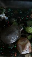 Red-eared slider turtle Reptiles for sale in The Bronx, NY 10473, USA. price: NA