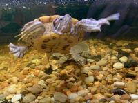Red-eared slider turtle Reptiles for sale in 2308 50th St Cir E, Palmetto, FL 34221, USA. price: NA