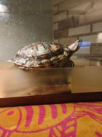 Red-eared slider turtle Reptiles for sale in New Providence, PA 17560, USA. price: NA