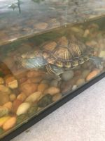 Red-eared slider turtle Reptiles for sale in Albuquerque, NM, USA. price: NA