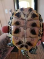 Red-eared slider turtle Reptiles Photos