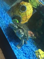 Red-eared slider turtle Reptiles for sale in Berwyn, IL 60402, USA. price: NA