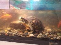 Red-eared slider turtle Reptiles for sale in Sun City, AZ 85373, USA. price: NA