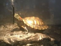 Red-eared slider turtle Reptiles for sale in Albuquerque, NM 87123, USA. price: NA