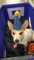 Red Heeler Puppies for sale in Thornton, CO, USA. price: NA