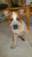 Red Heeler Puppies for sale in Salem, OR, USA. price: NA