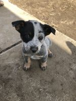 Red Heeler Puppies for sale in Stanfield, OR 97875, USA. price: NA