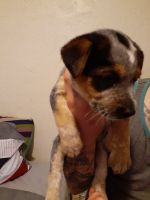 Red Heeler Puppies for sale in Idaho Falls, ID 83402, USA. price: NA