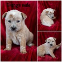 Red Heeler Puppies for sale in Vaughn, MT, USA. price: NA