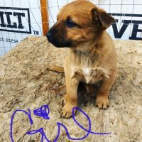 Red Heeler Puppies for sale in Fort Lupton, CO 80621, USA. price: NA