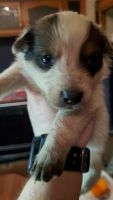Red Heeler Puppies for sale in Portland, OR, USA. price: NA