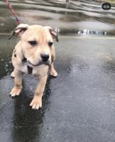 Red Heeler Puppies for sale in Charlotte, NC, USA. price: NA