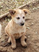 Red Heeler Puppies for sale in Nemaha, NE 68414, USA. price: NA