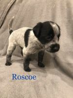 Red Heeler Puppies for sale in Nephi, UT 84648, USA. price: NA