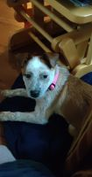 Red Heeler Puppies for sale in Mankato, MN 56001, USA. price: NA