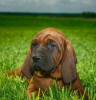 Redbone Coonhound Puppies for sale in Oklahoma City, OK, USA. price: NA