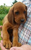 Redbone Coonhound Puppies for sale in Ashburn, VA, USA. price: NA